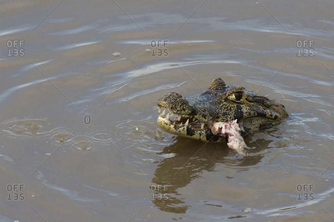 Jacare Caiman (Caiman yacare), Pantanal, Mato Grosso, Brazil