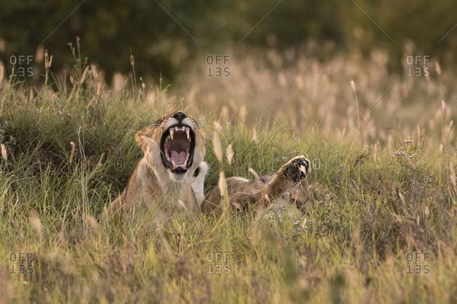 Lioness, Panthera leo, Voi, Tsavo, Kenya