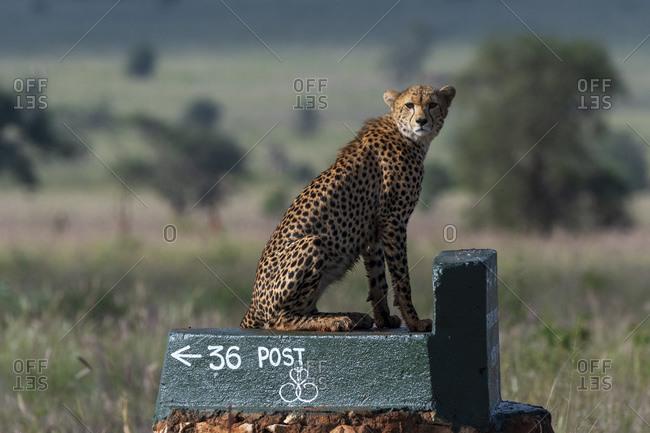 Cheetah, Acynonix jubatus on post surveying savannah, Voi, Tsavo, Kenya