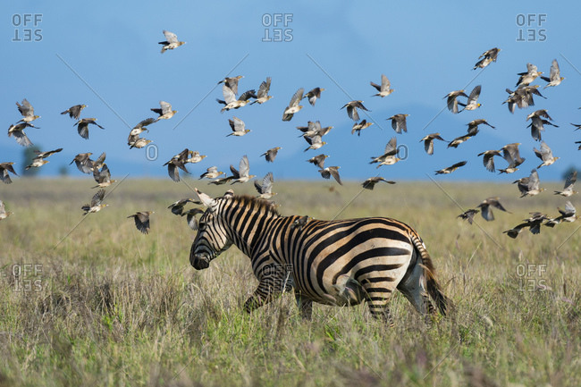 Flock of barn swallows, Hirundo rustica, flying over plain zebra, Equus quagga, Voi, Tsavo, Kenya
