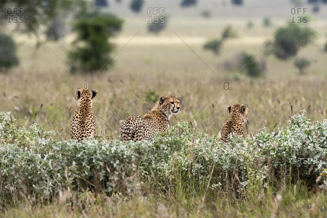 Cheetahs, Acynonix jubatus looking for prey, Voi, Tsavo, Kenya