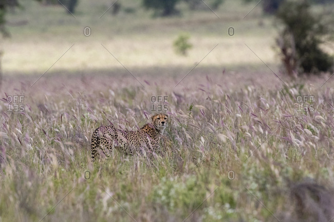 Cheetah, Acynonix jubatus in tall savannah grass Voi, Tsavo, Kenya