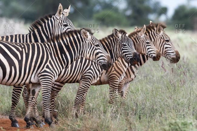 Herd of plains zebras, Equus quagga, Voi, Tsavo, Kenya