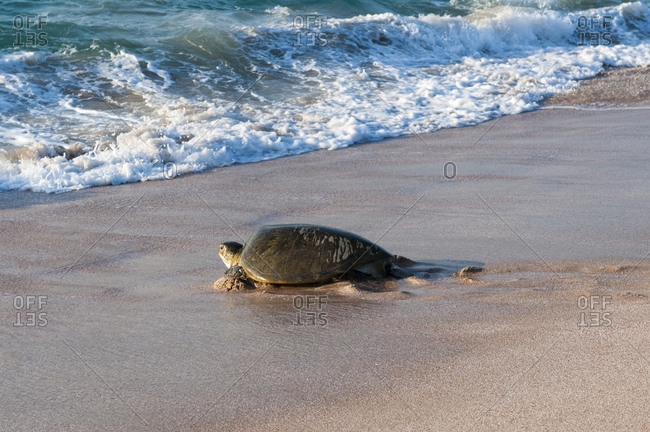 Green turtle on beach heading back to sea, Ras Al Jinz, Oman
