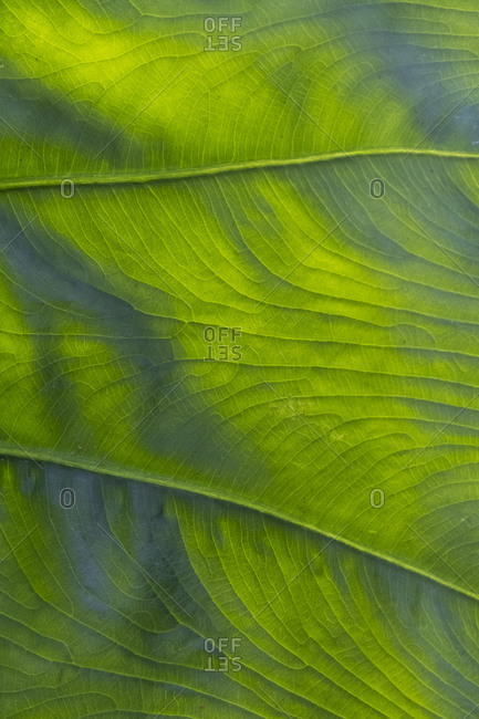Close up of veins of leaf of Arum species