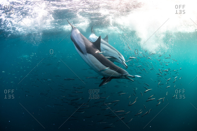 Sardine baitballs being hit by multiple predators