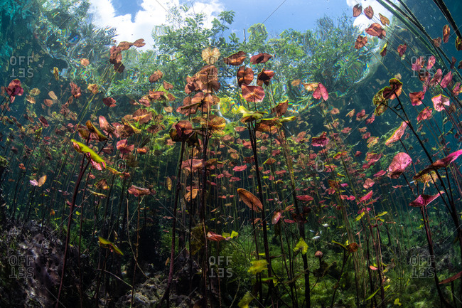 Underwater shot of lilies in pond, Cenote, Mexico