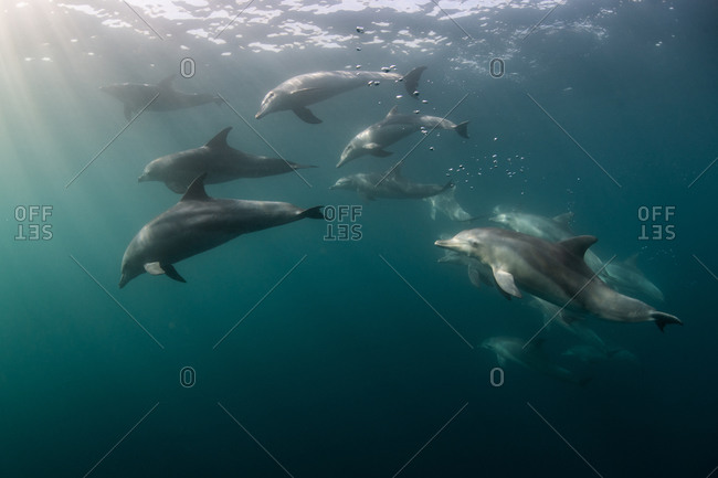 Underwater view of Bottlenose dolphins
