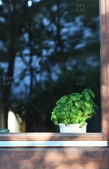 Basil plant growing in a window