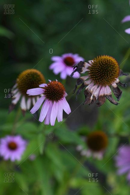 Coneflowers growing in a garden