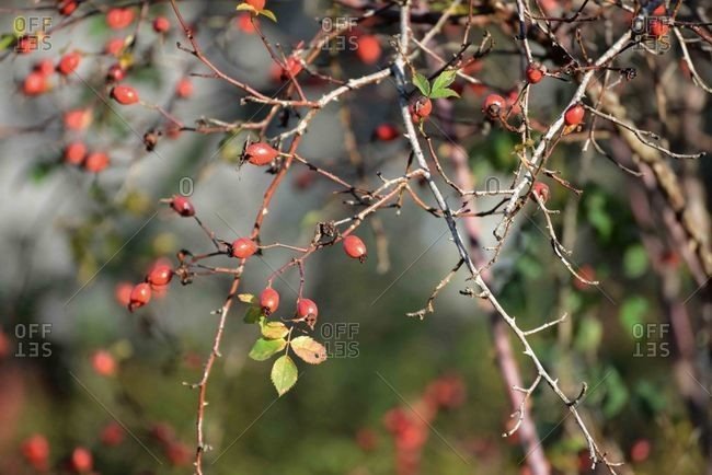 Rose hips on a plant in late autumn