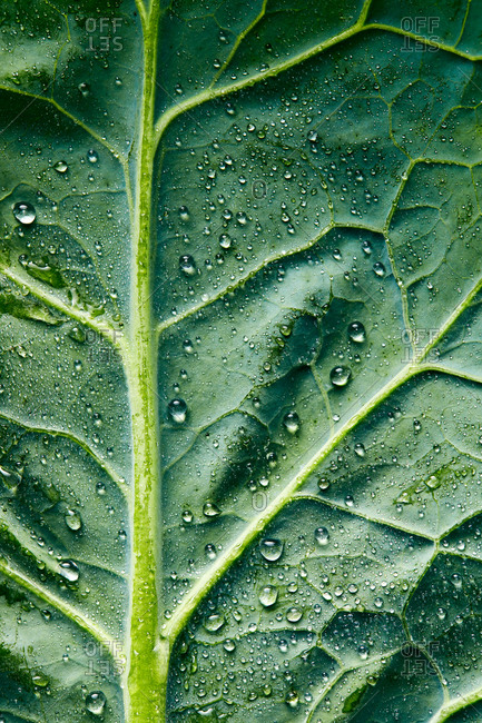 Water droplets on a kale leaf