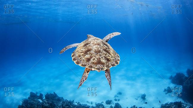 Green Sea Turtle, Palancar Reef, Cozumel, Quintana Roo, Mexico