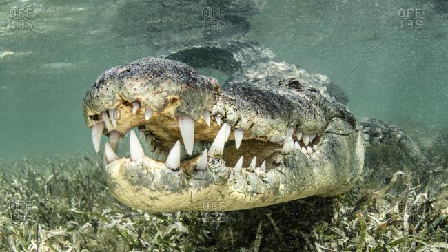 American saltwater crocodile, Chinchorro banks, Xcalak, Quintana Roo, Mexico