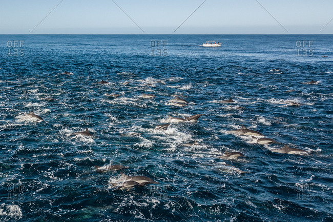 Super pod of common dolphins off Baja California