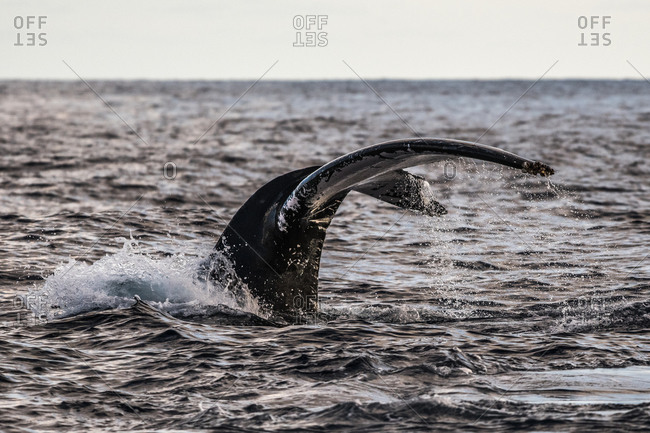 Humpback whale flukes before deep dive