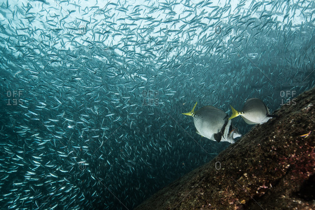 Shoals of sardine being hunted by red snappers