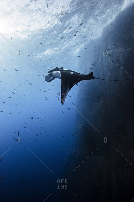 Underwater view of Giant Manta Ray near the pinnacle of roca partida, Socorro, Baja California, Mexico