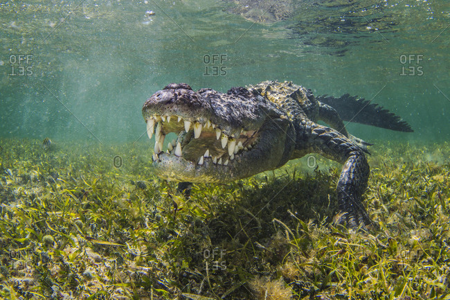 American Saltwater Crocodile on the atoll of Chinchorro Banks, low angle view, Xcalak, Quintana Roo, Mexico