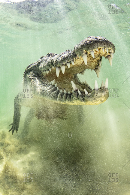 American Saltwater Crocodile above sandy seabed on the atoll of Chinchorro Banks, low angle view, Xcalak, Quintana Roo, Mexico