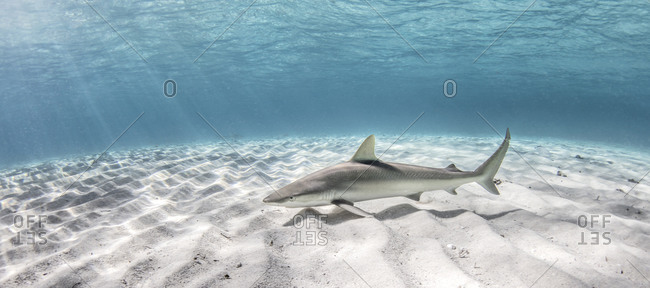Underwater view of blacknose shark swimming over seabed, Alice Town, Bimini, Bahamas