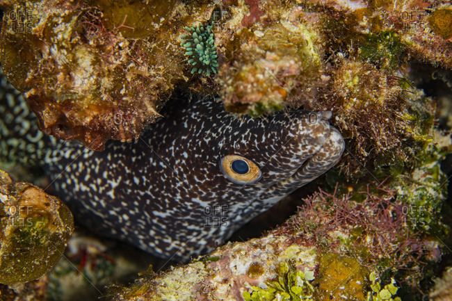 Underwater view of spotted moray (gymnothorax moringa) peering out from hiding place, Eleuthera, Bahamas