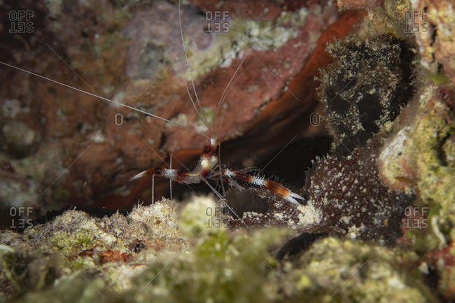 Underwater view of a banded-coral shrimp on the hunt, close up, Eleuthera, Bahamas