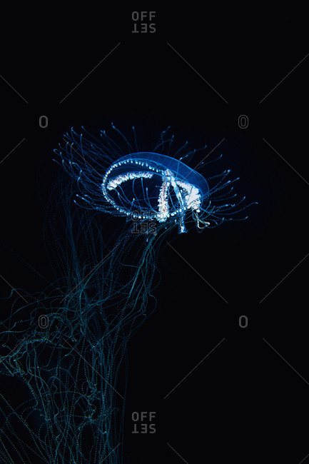 Underwater view of a cigar jellyfish on the hunt at night, Eleuthera, Bahamas