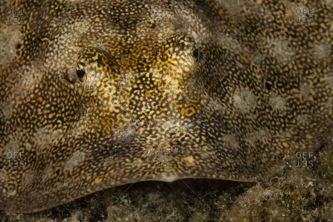 Underwater view of a yellow stingray, close up of face, Eleuthera, Bahamas