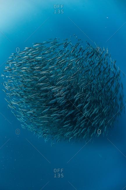 Mackerel bait balls underwater, Punta Baja, Baja California, Mexico