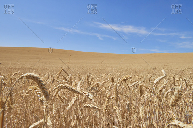 Blue skies over wheat field, Tensed, Idaho, United States