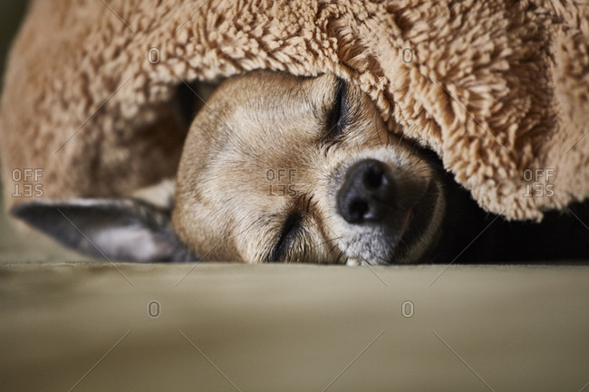 Chihuahua sleeping underneath blanket on couch