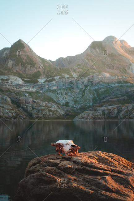 Skull of a drowned cow on top of a rock in a mountain lake