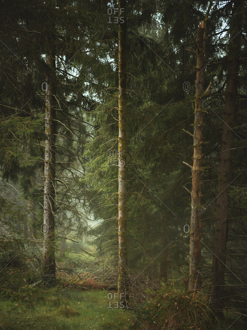 Pine tree forest on a foggy day