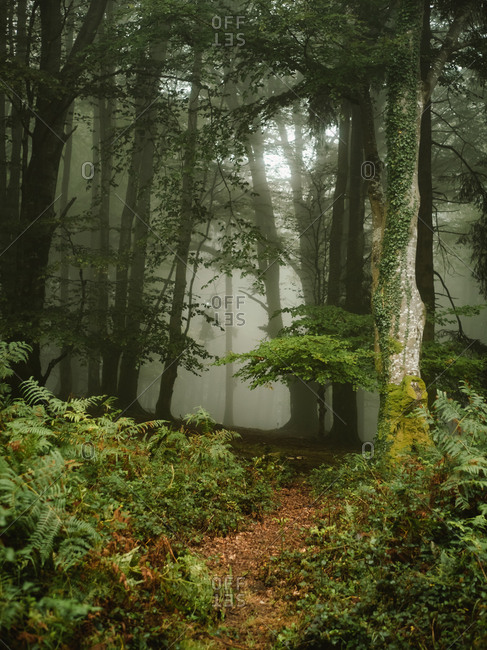 Entrance to a mysterious foggy forest