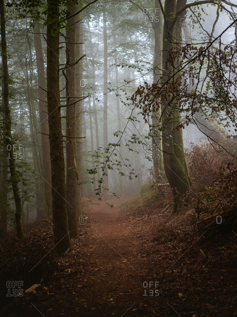 Dirt path among big trees in a foggy forest