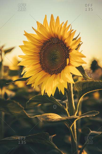 Close-up of a sunflowers during sunset