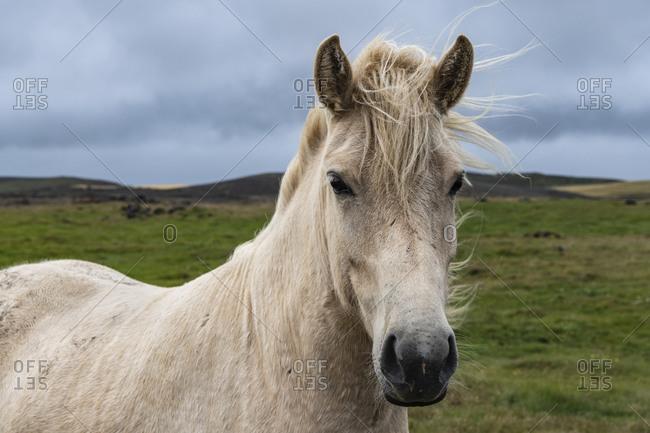 Europe, Iceland, South Iceland, Icelandic horse