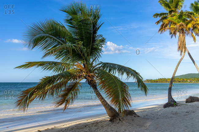 Caribbean, Greater Antilles, Dominican Republic, Samana, Las Galeras, palm trees on Playa Grande beach