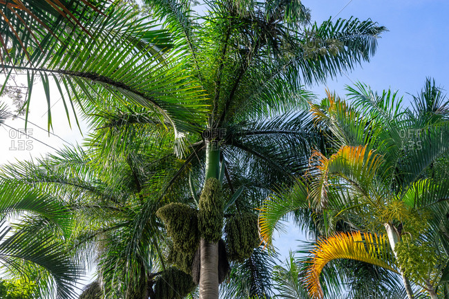 America, Caribbean, Greater Antilles, Dominican Republic, Jarabacoa, Los Calabazos, Sonido del Yaque Eco Lodge, palm trees against a blue sky
