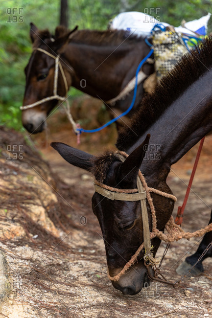 Greater Antilles, Dominican Republic, Jarabacoa, Manabao, Parque Nacional Jose Armando Bermudez, Pico Duarte, cargo donkeys take a break
