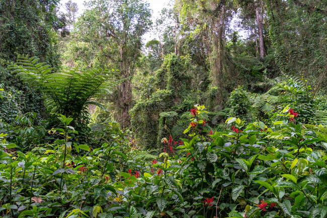 Greater Antilles, Dominican Republic, Jarabacoa, Manabao, Lush vegetation in the Jose A. Bermudez National Park on the way to the Pico Duarte