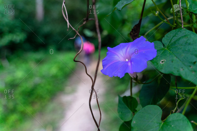 Greater Antilles, Dominican Republic, Jarabacoa, Manabao, Close up of purple flower