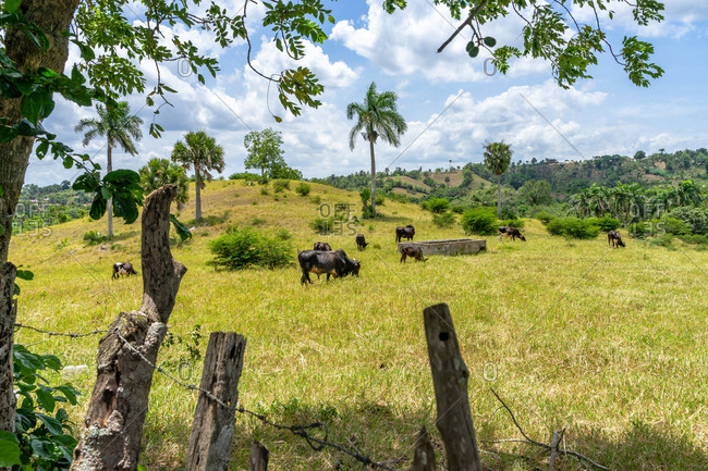 Greater Antilles, Dominican Republic, Santiago, cows in a pasture near Santiago de los 30 Caballeros