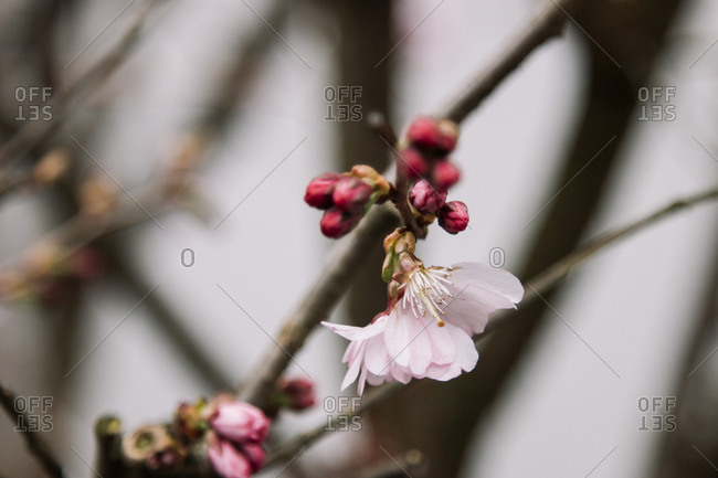 Close up of cherry blossom on branch
