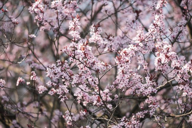 Blood plum tree in full blossom