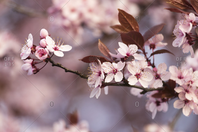 Blood plum in full bloom, Prunus cerasifera, red-leaved cherry plum
