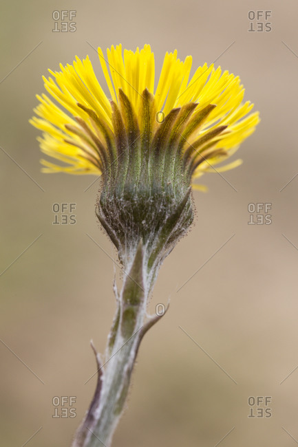 Flowering coltsfoot as a pioneer plant in a sand pit