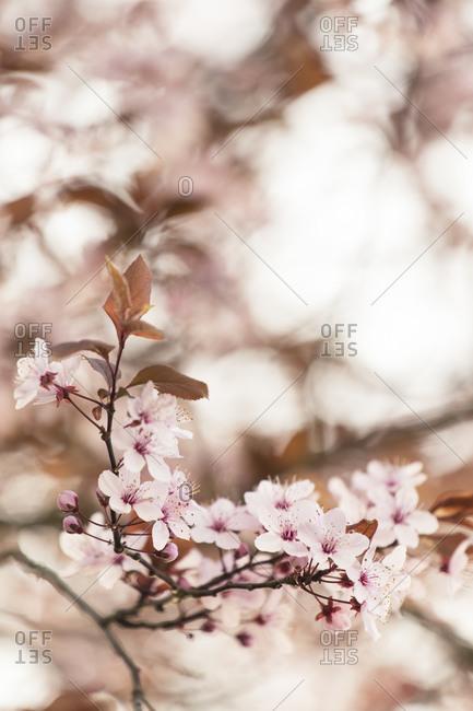 Blood plum in full bloom, Prunus cerasifera, red-leaved cherry plum