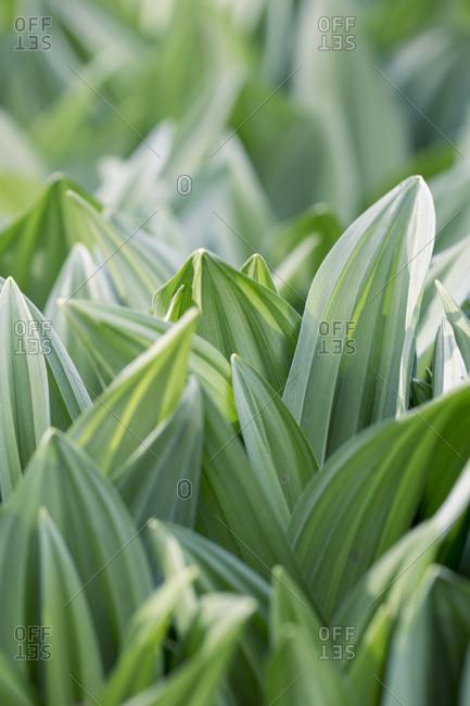 Black germer leaves, Veratrum nigrum, close-up